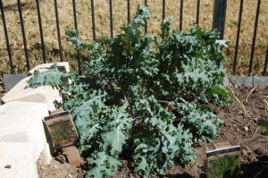 Kale growing in my backyard garden