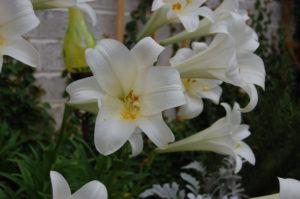 beuatiful easter lily blossum