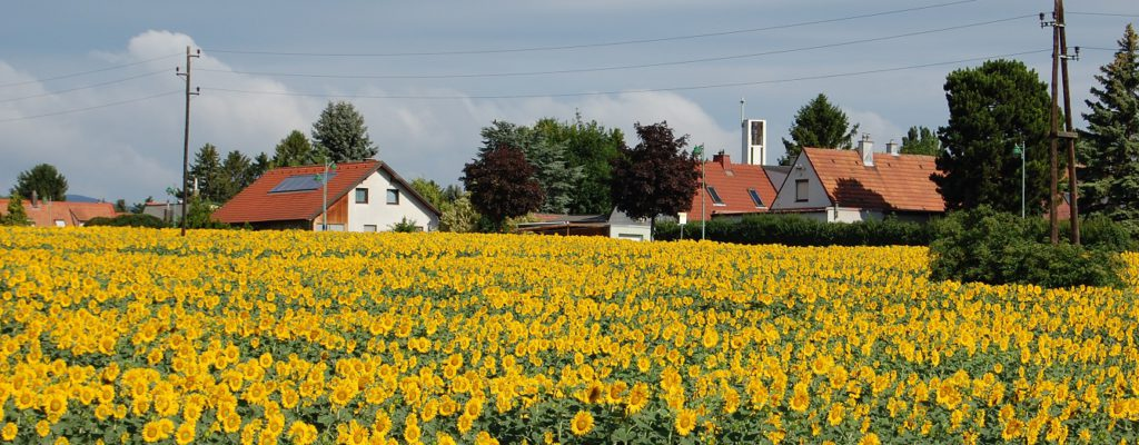 Sunflower fields in Guntramsdorf Austria