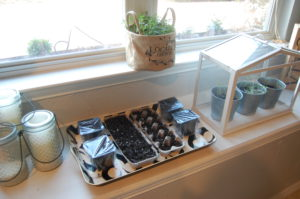 Trays sprouting on sunny window sill