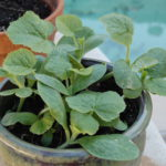 Pumpkin seedlings