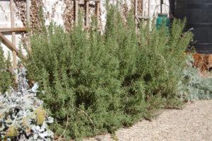 Rosemary in yard