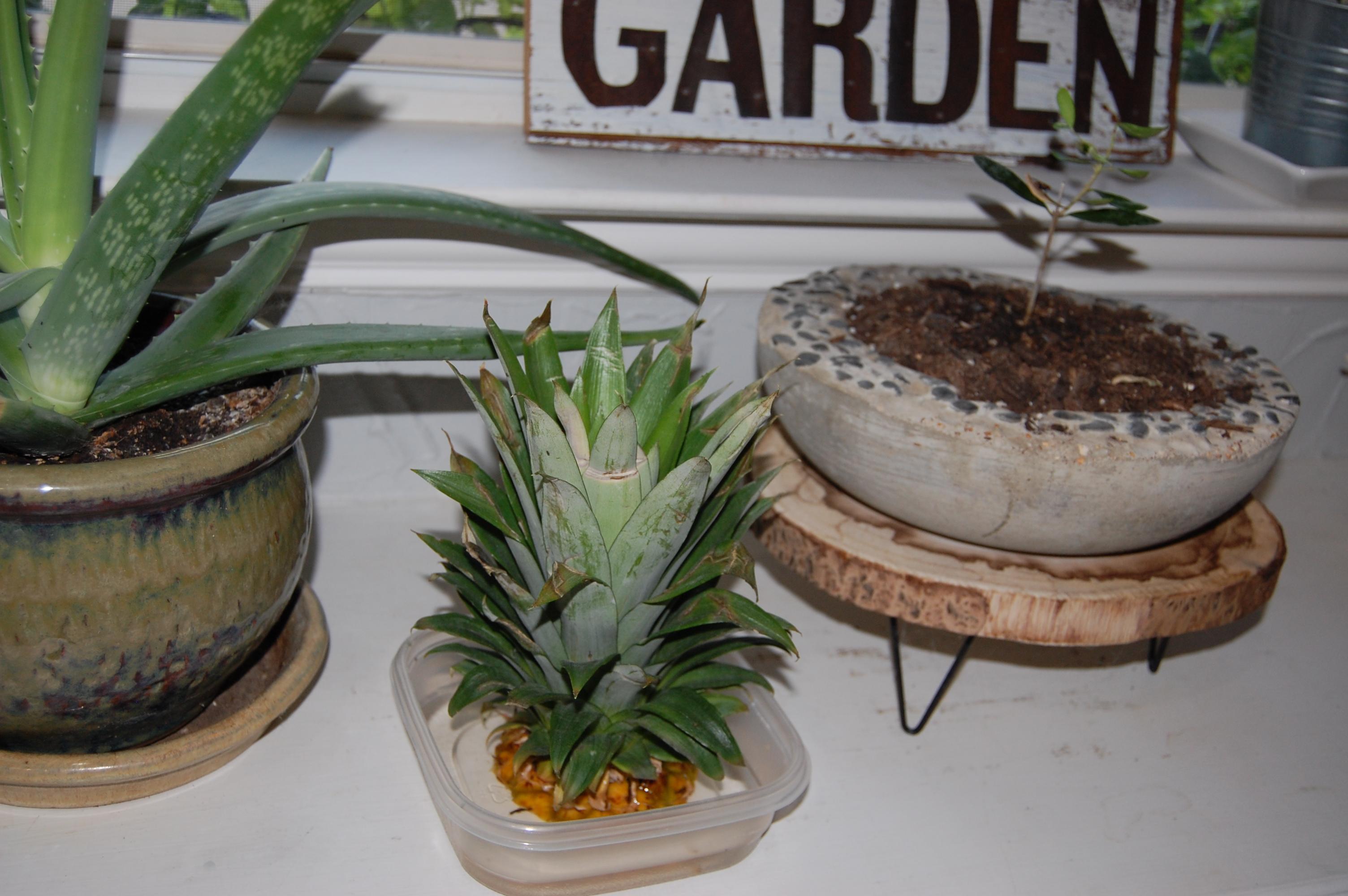 Garden for Free Part III - Pineapple