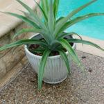 Pineappple plant